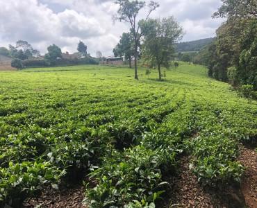 10 Acre tea Farm, Tigoni (8)